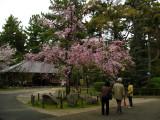 Weeping cherry blossom, Nagoya-jō