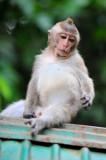 Monkey in Phuket Island.Thailand.