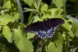IMG_3559-Eastern_Black_Swallowtail.jpg