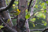 _MG_1024-Cape_May_Warbler.jpg