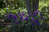 Spiderwort-_MG_1929.jpg