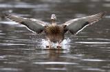 Manitoba Waterfowl