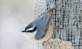 Red-breasted Nuthatch-female