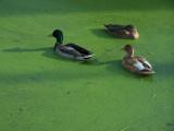 Ducks swim in an algae-filled canal
