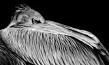 Pink-backed Pelican B&W IMGP3715.jpg