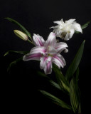 Lily IMGP3807.jpg
