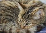Derby Cat