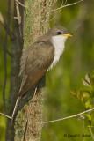Yellow - billed Cuckoo  2