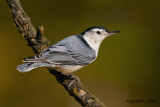 White - breasted Nuthatch   4