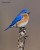 Eastern Bluebird   18