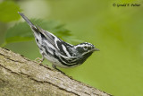 Black - and - white Warbler