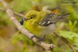 Yellow - throated Vireo