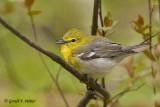 Yellow - throated Vireo   2