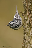 Black - and - white Warbler  2