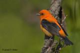 Scarlet Tanager  ( orange variant )
