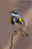 Yellow - rumped Warbler