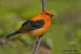 Scarlet Tanager  ( orange variant )  5