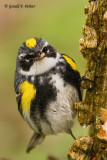Yellow - rumped Warbler  2