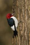 Red - headed Woodpecker  3
