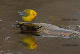 Prothonotary Warbler  8