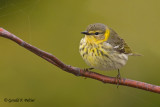 Cape May Warbler  2  (f)