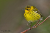 Cape May Warbler  3