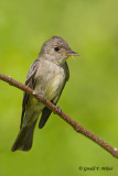 Eastern - Wood Pewee   3