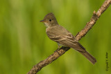 Eastern Wood - Pewee   4
