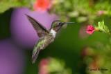 Ruby - throated Hummingbird