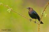 Brown - headed Cowbird