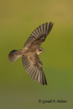 Northern Rough - winged Swallow