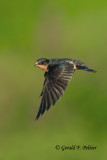 Barn Swallow  ( immature )