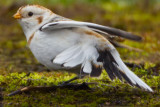 Snow Bunting - tail detail