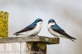 20120415-Tree_Swallow-7323.jpg