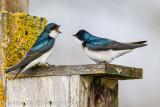 ::swallows::
