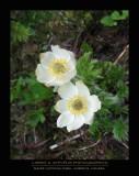 Flowers - Banff NP (Canada)