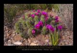 BIG BEND NP - Cactus in Bloom