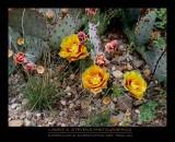 Yellow Cactus Flowers - BIG BEND NP