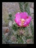 Pink Cactus Flower - BIG BEND NP