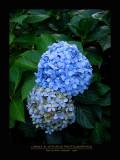 Flowers - BIG ISLAND