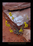 Flowers - NATURAL BRIDGES NM