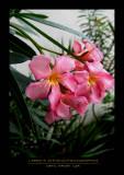 Flowers - OAHU