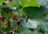hummer under cucumber leaf