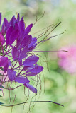 Cleome the spider flower!