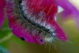 moth caterpillar macro