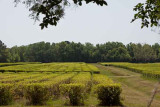 Charleston Tea Plantation (77)