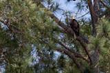 American Eagle (91)