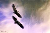 vulture gorges du Verdon 2044F2ww.jpg