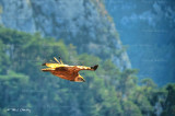 vulture gorges du Verdon 1924F2ww.jpg