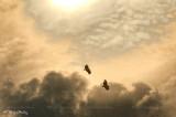 vulture gorges du Verdon 2272F2ww.jpg